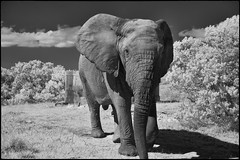 And Closer (zenseas) Tags: amakhalagamereserve southafrica elephant workingholiday infrared workingvacation holiday africa wild bullelephant africanelephant vacation easterncape norman loxodontaafricana bw blackandwhite monochrome ir digitalinfrared notusks close