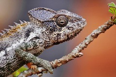 Warty a/k/a Spiny Chameleon (Furcifer verrucosus) (Susan Roehl) Tags: madagascar2017 islandofmadagascar offtheeastcoastofafrica berentyreserve wartyakaspinychameleon furciferverrucosus southerncoast chameleon animal reptile endemicwestpartofisland ariddisturbedland nearthesea terrestrial lowbushes feedsoninsects lays30to60eggsayear 6motoayear tomature coldblooded canchangecolors prehensiletail diurnal solitary oftenaggressive bulgingeyes moveindependently longtongues opportunistic sueroehl photographictours naturalexposures panasonic lumixdmcgh4 100400mmlens handheld cropped lizard macro ngc coth coth5 npc