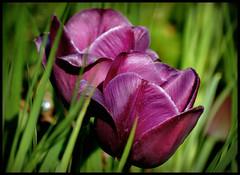 schönes Wochenende !!! (karin_b1966) Tags: garten garden natur nature 2018 blume flower blüte blossom pflanze plant tulpe tulip