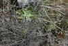 Dudleya cymosa, CANYON DUDLEYA/ROCK LETTUCE in grass (openspacer) Tags: crassulaceae dudleya grassland lospadresnationalforest montereycounty rocklettuce