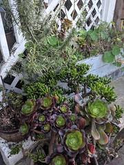 large succulents (Liz Henry) Tags: cameraphone