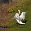 D81_10965 (charlesvanlangeveld) Tags: swans swan white whiteswans mute muteswan birds waterbirds