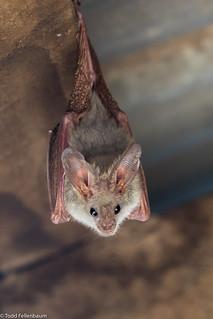 CA3I7769-Heart-nosed Bat