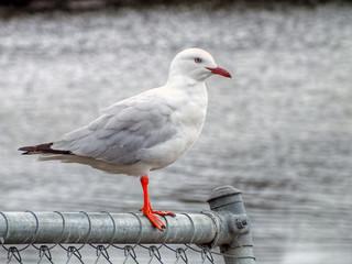 Silver Gull - Chroicocephalus novaehollandiae
