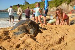Finding a spot to catch some sun (radargeek) Tags: isleofmaui maui hawaii 2017 may paia hookipabeachpark beach turtle seaturtle child children