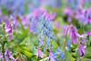 _NCL4575-Edit (chitoroid) Tags: nikond750 japan hokkaido sapporo flower afpnikkor70300mmf4556eedvr