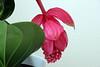 Blüten (Foto Hardy) Tags: flower flora blumen blüten medinilla magnifica flamenco