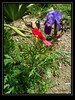 Lirios y Amapolas (VincentToletanus) Tags: toledo españa exteriores amapola lirio jardin naturaleza flores