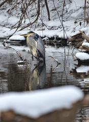Great Blue Heron (Chad Horwedel) Tags: greatblueheron bird snow river eastbranchofdupageriver dupagerivergreenway bolingbrook illinois