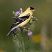 American Goldfinch (Rich Parkinson) Tags: nikon nikond850 d850 nikkor500mmf4gedvr bird americangoldfinch goldfinch meadow thistle grass nature