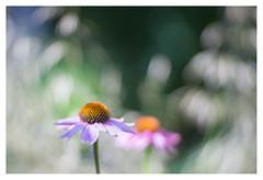 Echinacea purpurea (leo.roos) Tags: zonnehoed coneflower echinaceapurpurea pink roze angénieux100mm a7 pangénieuxparissthéandaxtype75f100105 projectorlens projectionlens july2018classicprimes week100 dyxum challenge darosa leoroos