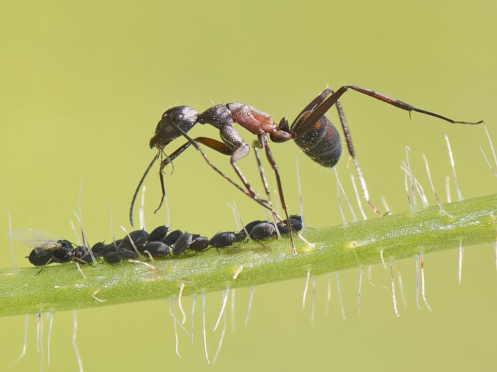 Hormiga cuidando su rebaño de pulgones (sherca) Tags: hormiga pulgones  macro naturaleza animales