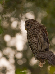 Introspection (agnish.dey) Tags: owl perched portrait wildlife birding birdwatching bird bokeh birdsofprey tree florida coth forest animalplanet naturallight nature naturephotograph nikon d500 sunlight