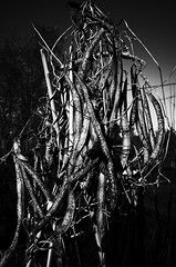 Hanging There (justingreen19) Tags: agriculture bean ricoh ricohgrii allotment backyard beanpods broadbeans broadbean contrast driedout food garden growyourown highcontrast homegrown justingreen19 mono mouldy pods produce runnerbeans seedheads surplus texture vegetables waste
