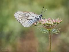 Blanco nacar. (Jesus Tejon) Tags: macrofografia macro mariposa naturaleza nature insecto olympus bokeh 60mm flares s