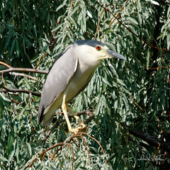 Black-crowned Night Heron (dcstep) Tags: a7r8535dxo heron blackcrownednightheron f cherrycreekstatepark colorado usa greenwoodvillage sonya7riii fe100400mmf4556gmoss fe20xteleconverter dxophotolab21 allrightsreserved copyright2018davidcstephens bird nature urban urbannature handheld