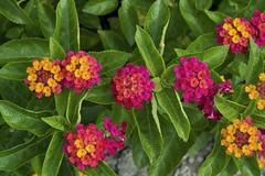 colorful lantana (Steve4343) Tags: steve4343 nikon d70 colorful lantana red green blue yellow orange pink flowers flower beauty beautiful
