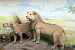 lion exhibit (BarryFackler) Tags: museum taxidermy mammal africanwildlife museumdisplay museumexhibit lion bigcats pantheraleo predator carnivore herbivore animal being creature organism biology life zoology lincolnnebraska universityofnebraskalincoln school university college lincolnne universityofnebraska learning barryfackler barronfackler 2018 indoor vacation fauna universityofnebraskastatemuseum morillhall midwest background display exhibit