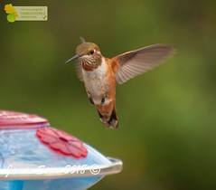 Rufous Hummingbird adult female (ironekilz) Tags: chatfieldstatepark