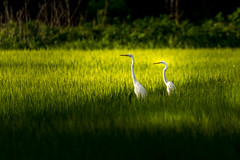 Heron in rice field (kellypettit) Tags: heron bird birds field ricefield sunset goldenhour lowlight contrast ricepaddy paddies scenic