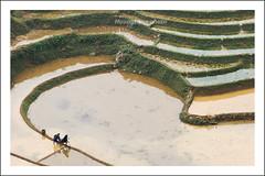 IMG_0650.0408.Tả Van.Sapa.Lào Cai (hoanglongphoto) Tags: asia asian vietnam northvietnam northwestvietnam terraces terracedfields terracedfieldsinsapa transplantingseason sowingseeds landscape scenery vietnamlandscape vietnamscenery vietnamscene sapalandscape people landscapewithpeople abstract cruve canon canoneos2od canonef70200mmf40usm tâybắc làocai sapa tảvan phongcảnh ruộngbậcthang phongcảnhcóngười đườngcong trừutượng mùacấy đổnước sapamùacấy ruộngbậcthangsapa water nước watersurface mặtnước gettyimage