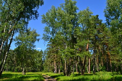 Motley grass pinery with birches (МирославСтаменов) Tags: russia lanshinsky forest edge pinery glade
