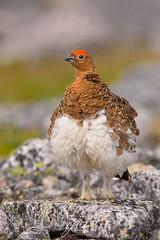 Fluffy! (jlf_photo) Tags: lagopede des saules bird animal oiseau baie james canada quebec