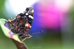 Le vulcain (David Bertholle) Tags: papillon butterfly nature macro makro sigma ngc color d7200 bokeh dof insect