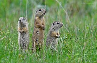 European Ground Squirrel (explored)