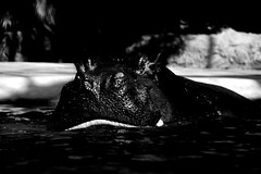 (mittagskind) Tags: tierpark zoo flusspferd