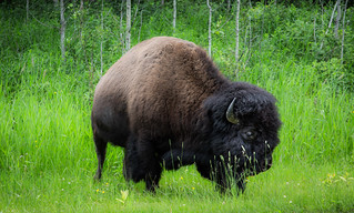 32/52: What's the difference between a bison and a buffalo?