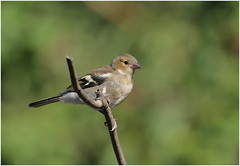 Young Chaffinch (jenny*jones) Tags: fringillacoelebs fringillidae youngchaffinch finch gardenbird westyorkshire gtbritain summer2018 canon7dmarkii canon100400mmii birdphotography