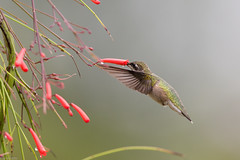 Ruby Throated Hummingbird (grobinette) Tags: rubythroatedhummingbird hummingbird colibri chuparosa firecrackerfern greenspringgardens explored picaflor