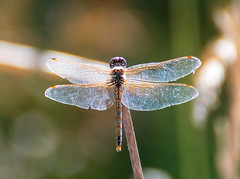 Iridescent wings (Middle aged Nikonite) Tags: grey lodge california nikon d750 close up nature dragonfly bokeh macro depth field insect wings translucent stick