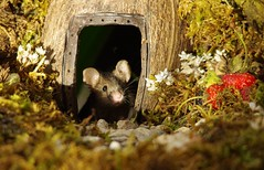 George the mouse in a log pile house (5) (Simon Dell Photography) Tags: house mouse log pile door coconut mossy moss logs wood stack garden wild wildlife cute funny detail close up awesome viral ears eyes george mini mildred sheffield s12 hackenthorpe decorated summer images mice two mouses animals rodents