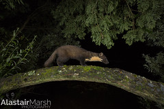 Pine Marten (Alastair Marsh Photography) Tags: pine pinemarten pinemartens pineforest woodland woods wood animal animals animalsintheirlandscape night nightphotography nighttime nightwalk wildlifeatnight nocturnal nocturnalwildlife nocturnalmammal nocturnalmammals mammal mammals mammalsociety scotland scottishwildlife scottishmammals scottishmammal scottishhighlands trees tree wildlife britishwildlife britishanimals britishanimal britishmammals britishmammal