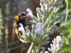 Bee in my Garden (Andy Sut) Tags: bee nature insect lavender flower macro nottingham england uk