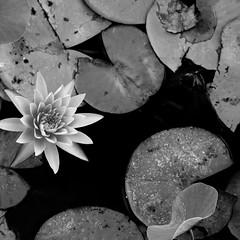I hit the bottom (www.guygevaart.com) Tags: flower flora water dark darkness blackandwhite outdoor nature