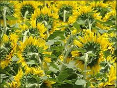 """"""" La tête à l'envers ! """" (Armelle85) Tags: extérieur nature flore fleur tournesol"""