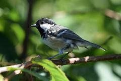 Coal tit in the tree (karen leah) Tags: coaltit tit bird july summer outdoor wildlife nature cilgerran ceredigion