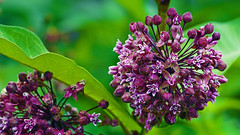 Common Milkweed (Asclepias syriaca), Hartley Nature Center - Duluth MN USA, 07/19/18 (TonyM1956) Tags: elements tonymitchell minnesota nature stlouiscounty hartleynaturecenter duluth sonyalphadslr commonmilkweed asclepiassyriaca macrounlimited sonyphotographing