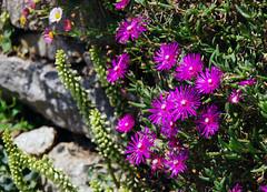 Wallflower (Frank S (aka Knarfs1)) Tags: blume blüte flower fleur blossom ga garten nature natur purelynature