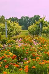 Vineyard (Brandon Westerman WNP) Tags: vineyard purple toad winery paducah kentucky flower wine sunset
