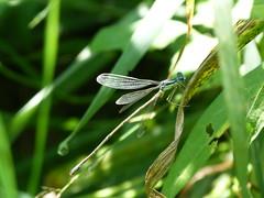 P1190095  SLENDER SPREADWING (birder2015 Toronto, Canada) Tags: slenderspreadwing damselfly odonate
