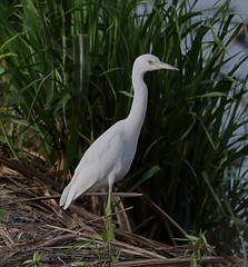 07-24-18-0028722 (Lake Worth) Tags: animal animals bird birds birdwatcher everglades southflorida feathers florida nature outdoor outdoors waterbirds wetlands wildlife wings