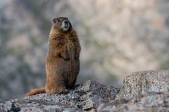 On Guard (fascinationwildlife) Tags: animal mammal wild wildlife nature natur rock rocky mountains colorado usa america yellow bellied marmot murmeltier summer mount evans rocks curious guard watching