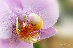 Close-up of a Phalaenopsis blossom (marko.erman) Tags: phalaenopsis beautiful sony ilce7rm2 petal flower plant nature floral bokeh macro fleur plante brillant jardin pelouse nerium pink yellow orchid bilateralsymmetry blossom closeup
