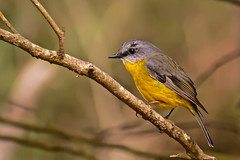 Eastern Yellow Robin (Rodger1943) Tags: robins easternyellowrobin australianbirds fz1000