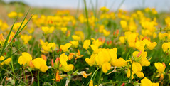 Find me with the wild flowers soaking up the sun. (Mellisapix) Tags: wildflowers flowerbed uk kent countryside sunshine meadow flowers flower birdsfoot yellow
