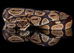 Royal Python, CaptiveLight, Ringwood, Hampshire, UK
